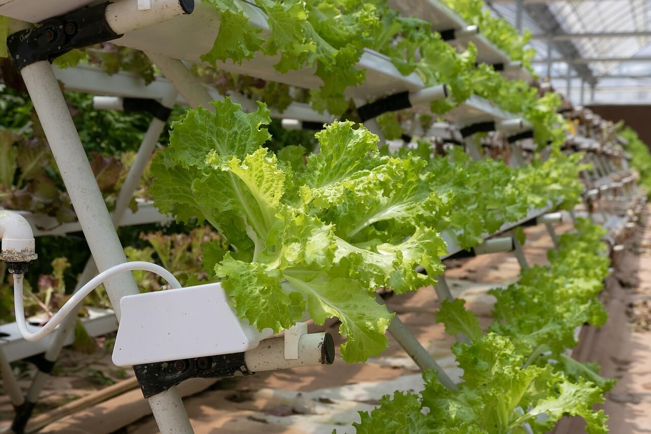 bisnis usaha sampingan tanaman hidroponik