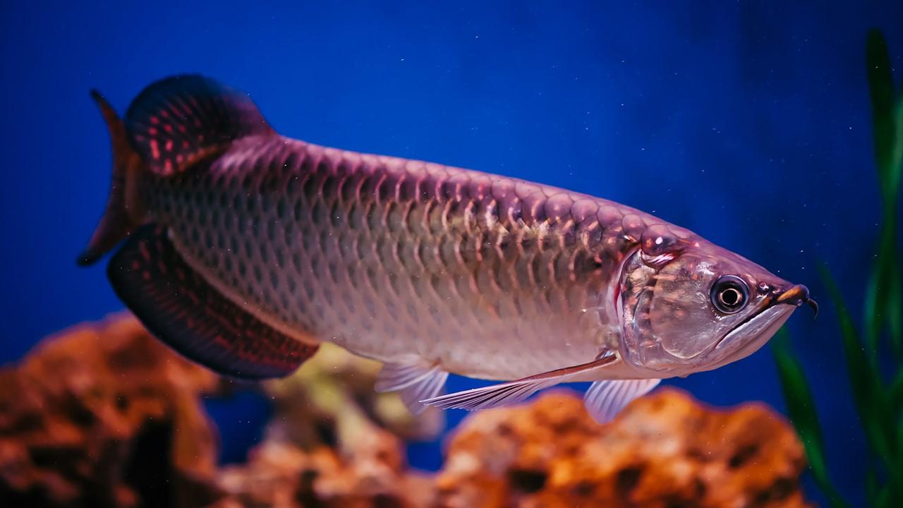 14 Cara Budidaya Ikan Arwana, Peluang Hasilkan Jutaan/Ekor