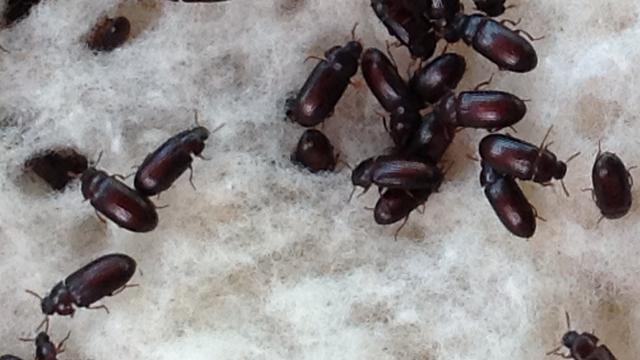 Manfaat dan Khasiat Semut Jepang Yang Jarang Orang Ketahui